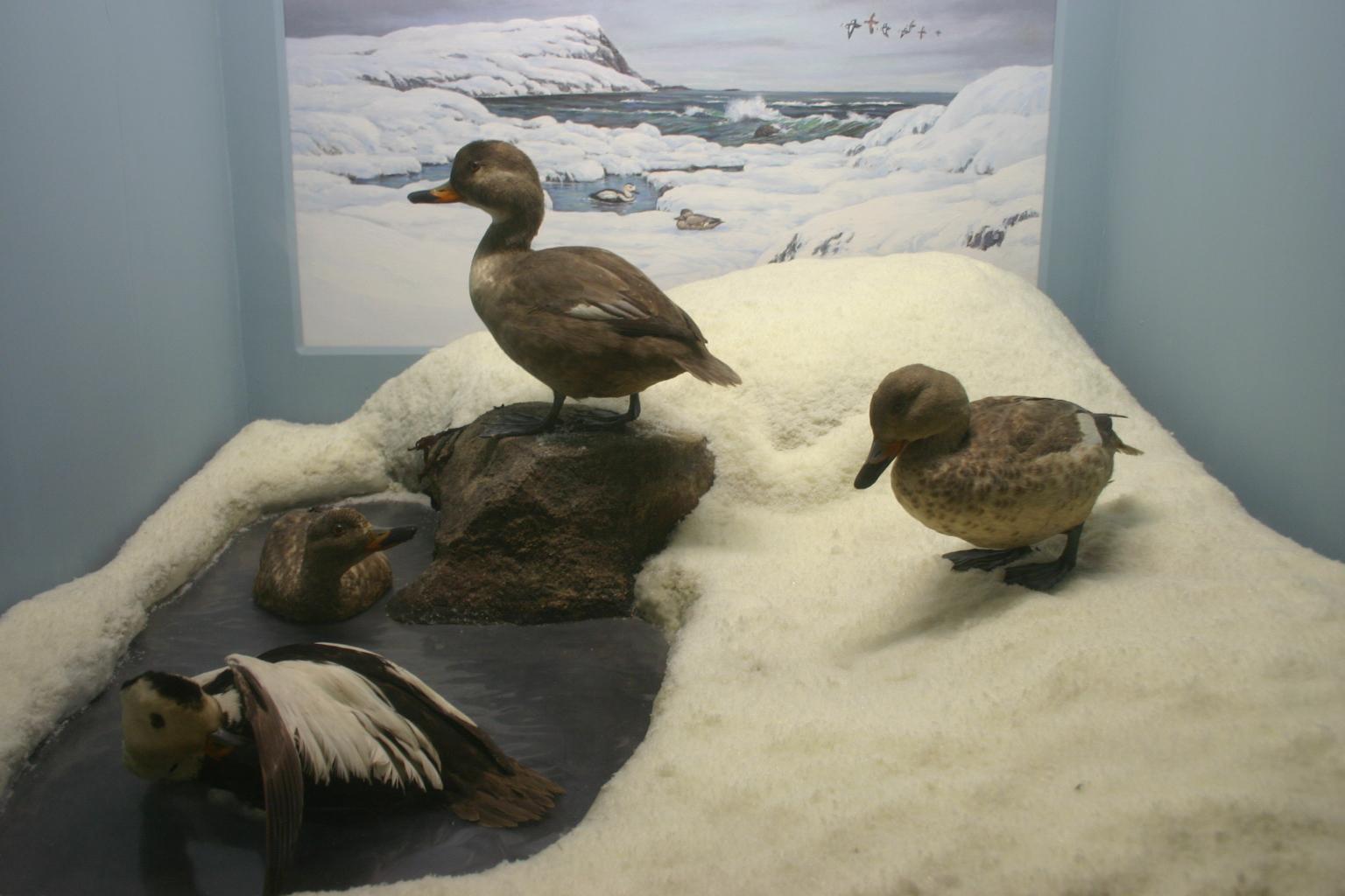 Labrador Ducks AMNH.jpg
