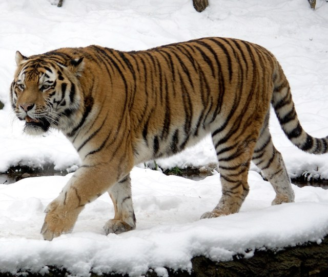 Siberian Tiger Wikipedia