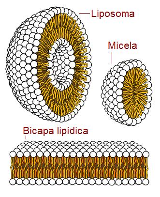 Liposomas, micelas y bicapas - antecedentes del origen de la vida