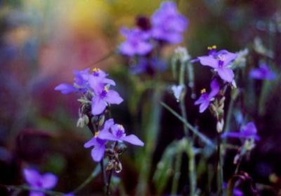 ფაილი:Tradescantia Spiderworts.jpg