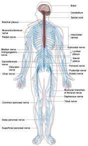 Human Nervous System Lesson Plans, Worksheets, Printables