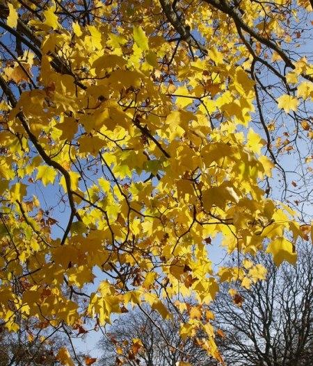 Acer near Birch Walk
