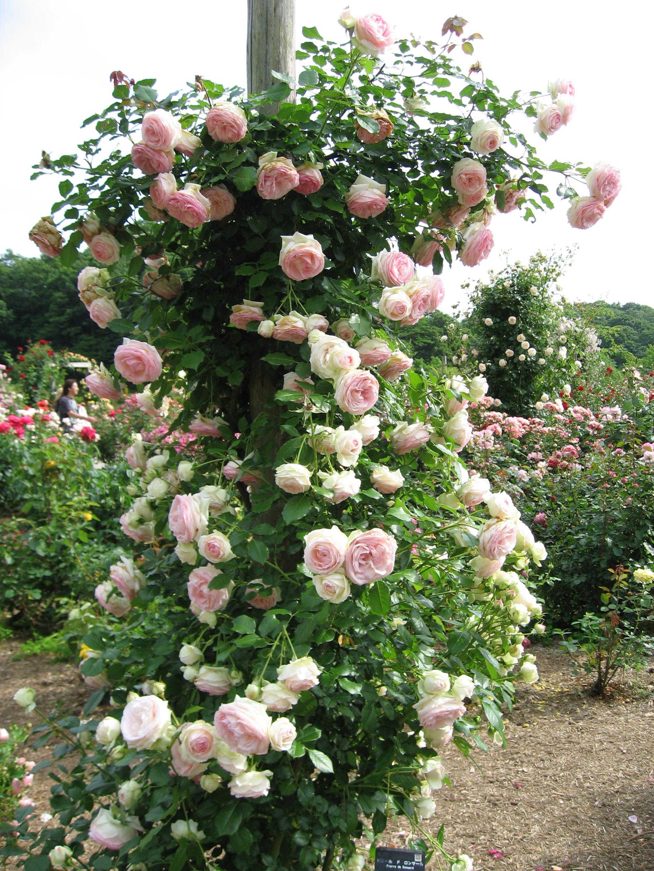 Support Rosier Grimpant Abri Jardin Bois France