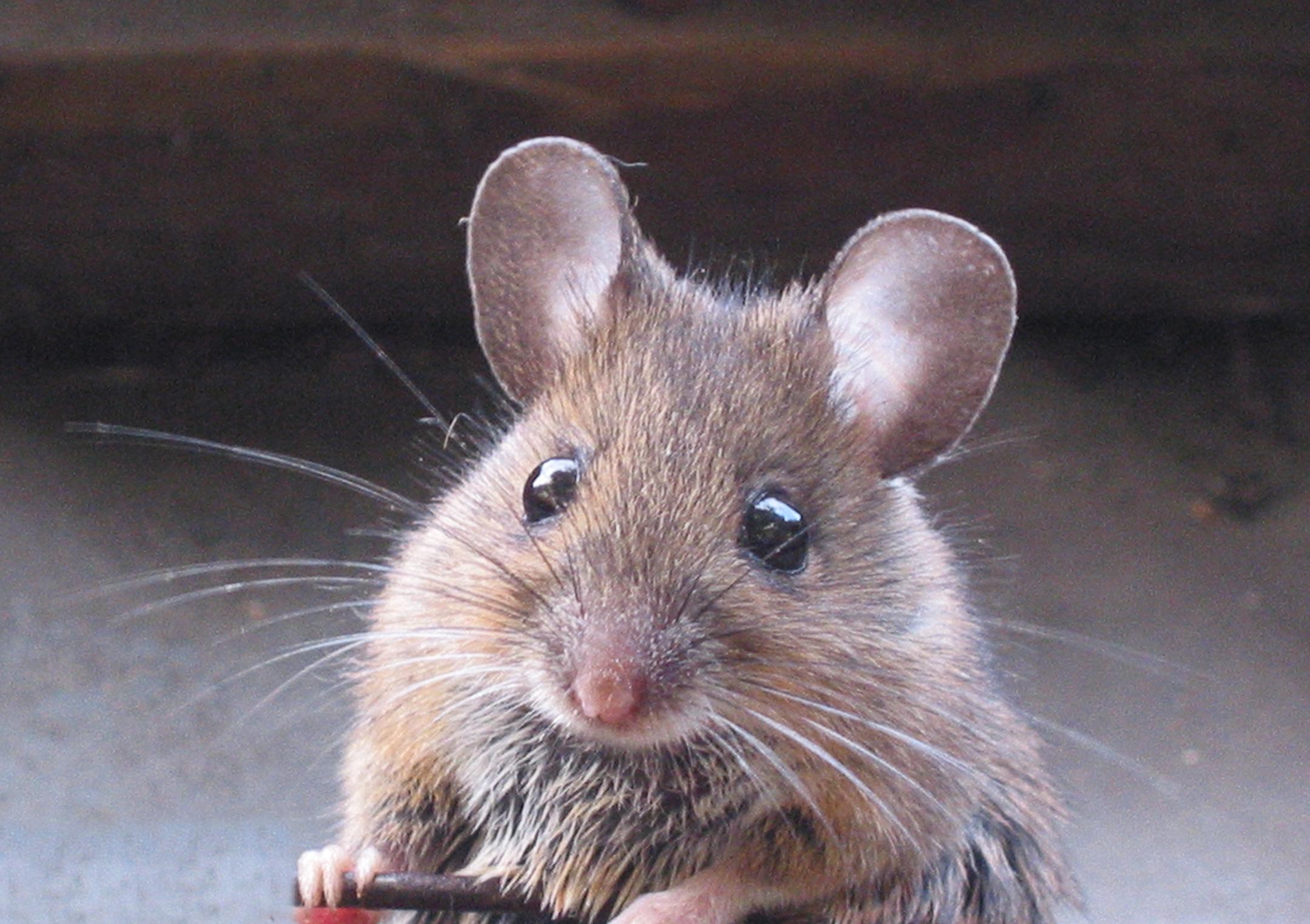 tengo ratones en mi casa qué hago