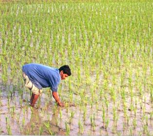 Paddy field in Bangladesh