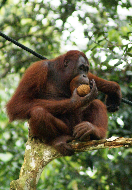oragutan eating, what are great apes, orangutans endangered, habitat destruction affects apes