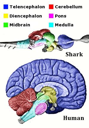English: Main regions of the vertebrate brain,...