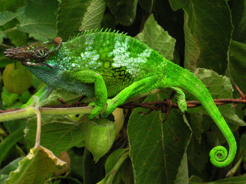 Chameleon - Tanzania - Usambara Mountains by Ales.kocourek (via Wikipedia)