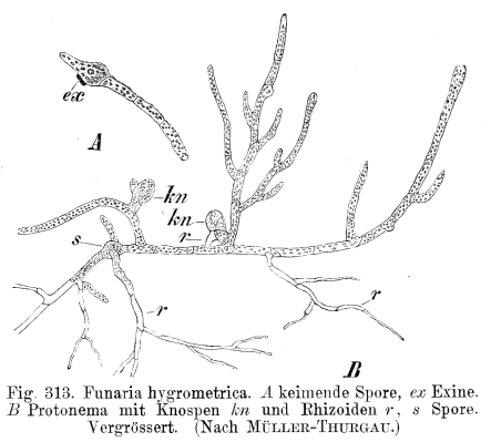https://i2.wp.com/upload.wikimedia.org/wikipedia/commons/c/c0/Funaria_hygrometrica_Protonema_Strasburger1900.png?resize=443%2C399&ssl=1