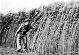 English: Screenshot of a hemp farm from Hemp f...