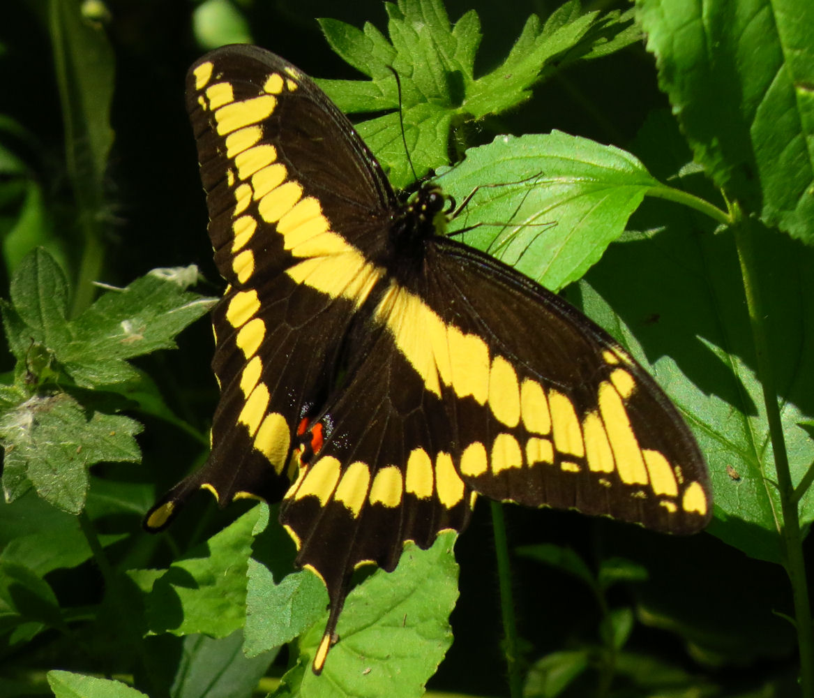 Giant Swallowtail, Shirleys Bay.jpg