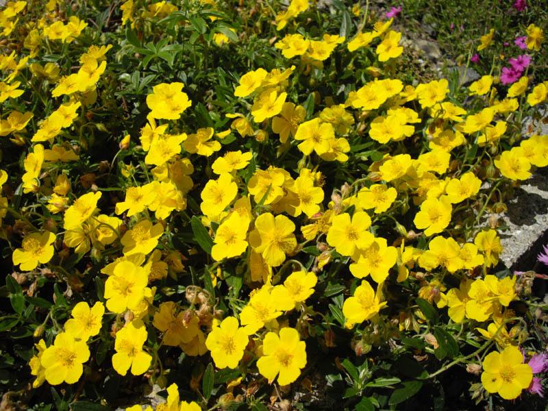 Helianthemum Nummularium Wikispecies