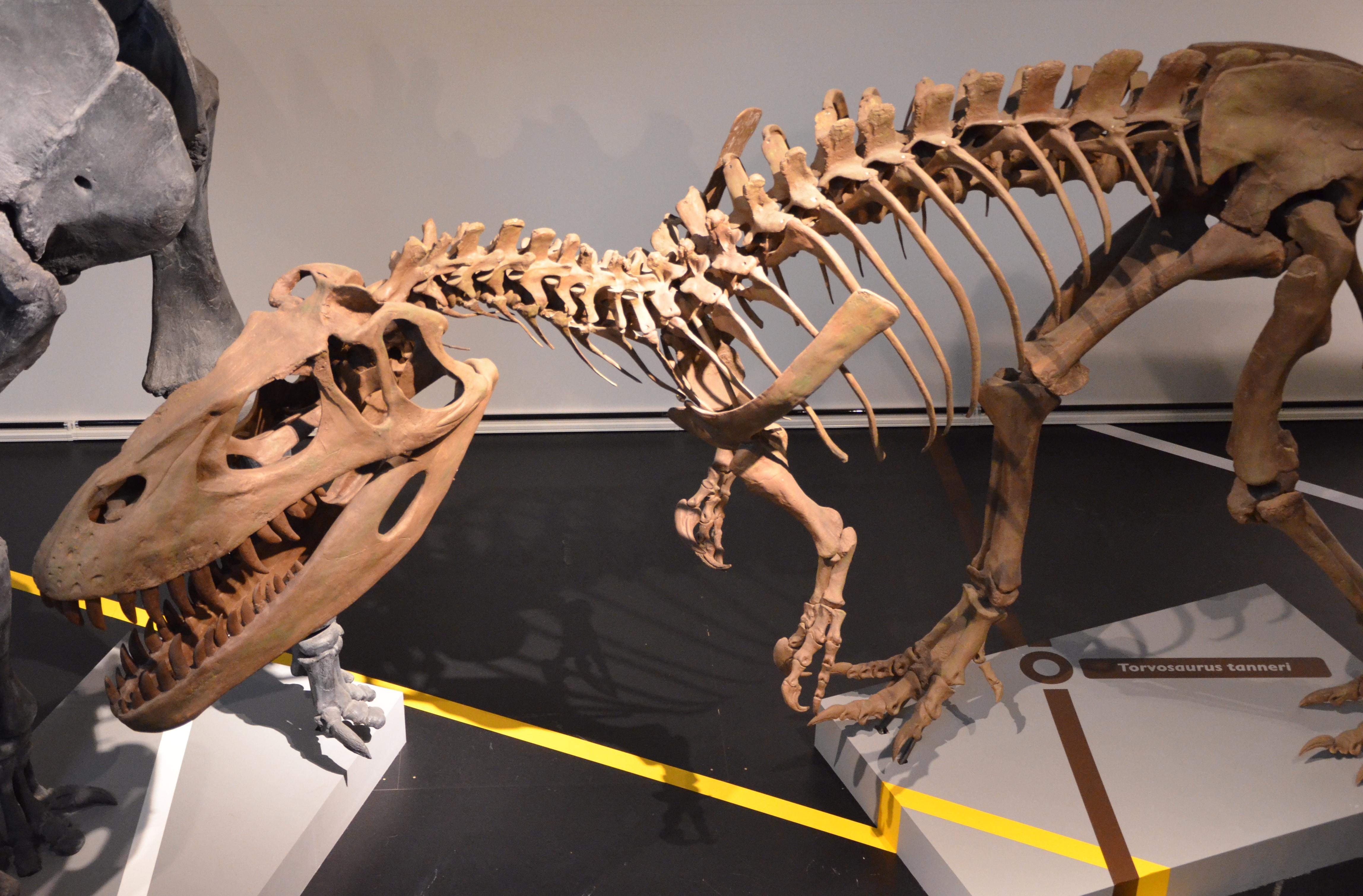 Torvosaurus tanneri in Madrid museum