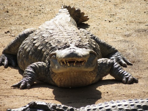 Broad Snouted Crocodile
