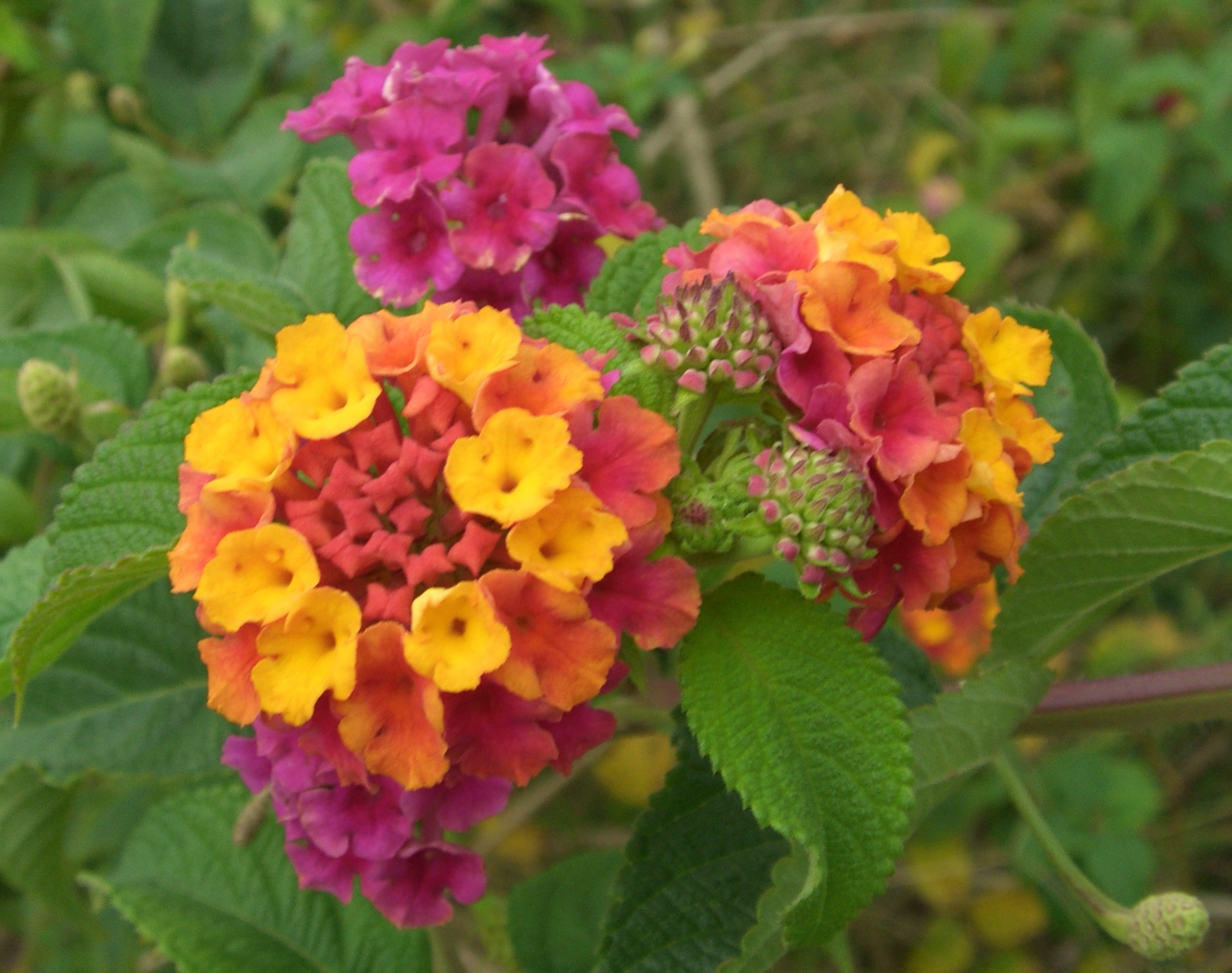 Image result for lantana