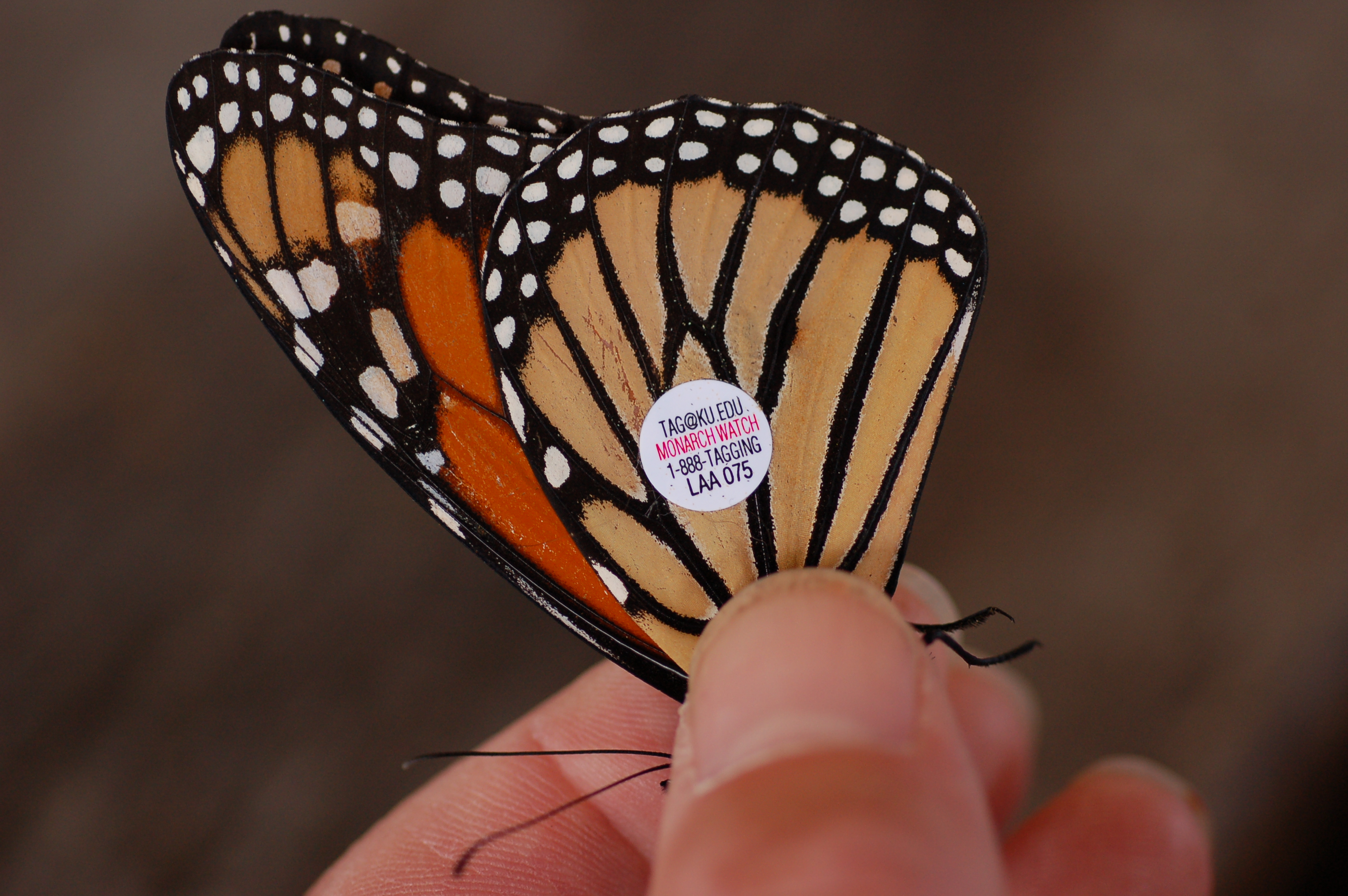 File Monarch Butterfly Danaus Plexippus Tagged Closeup