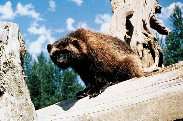 Wolverine - Public Domain Image from Wikimedia