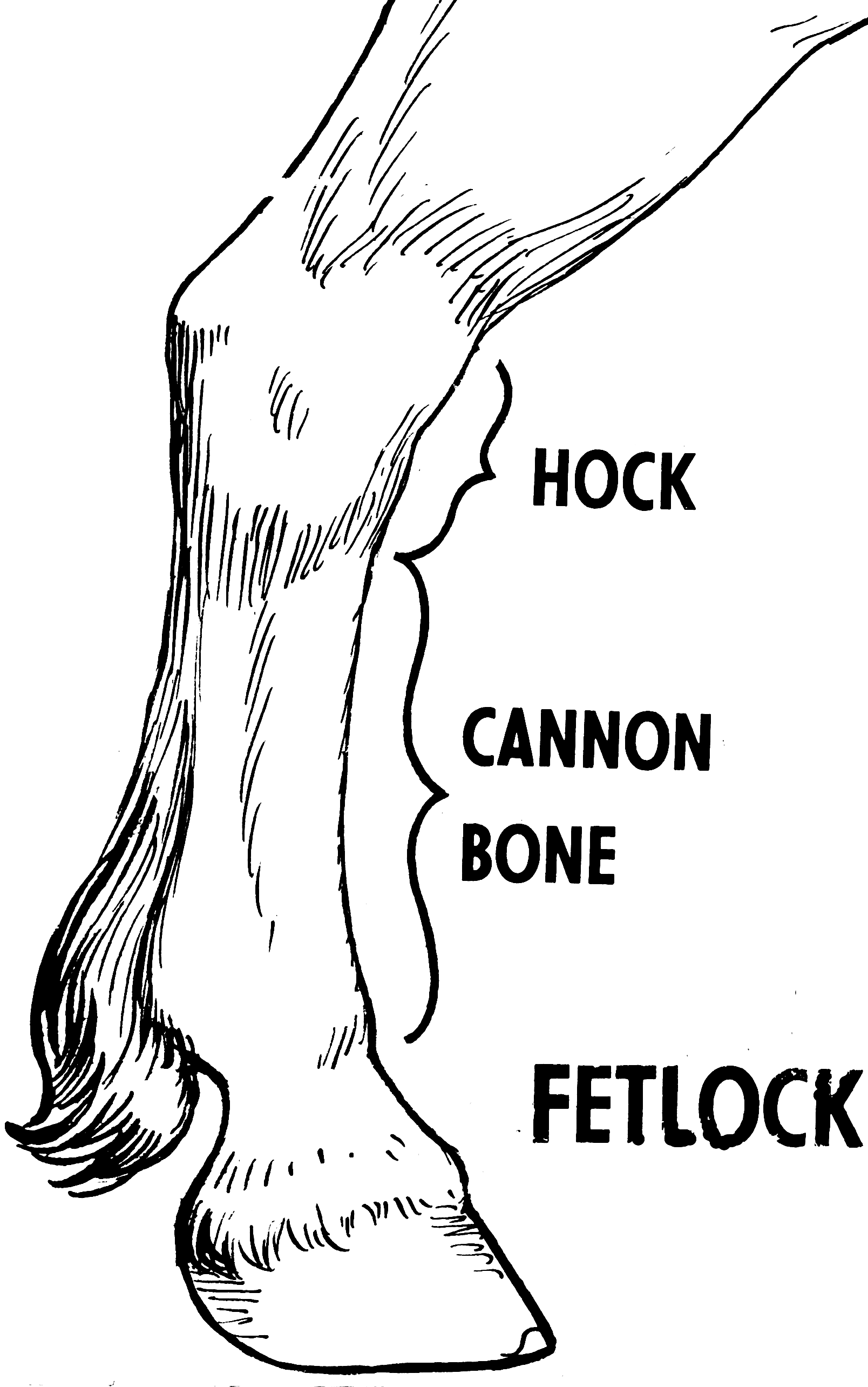 Where Is The Fetlock On A Horse
