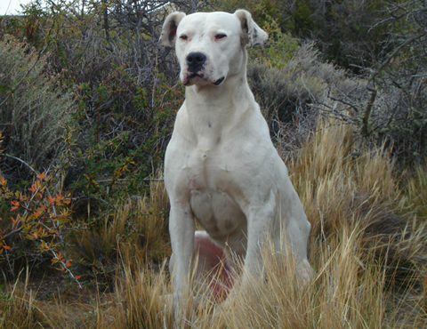 Dogo argentino recentre Game Dog Pitbull Kennels