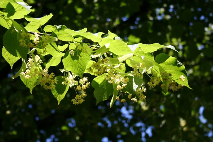 Image result for lime trees