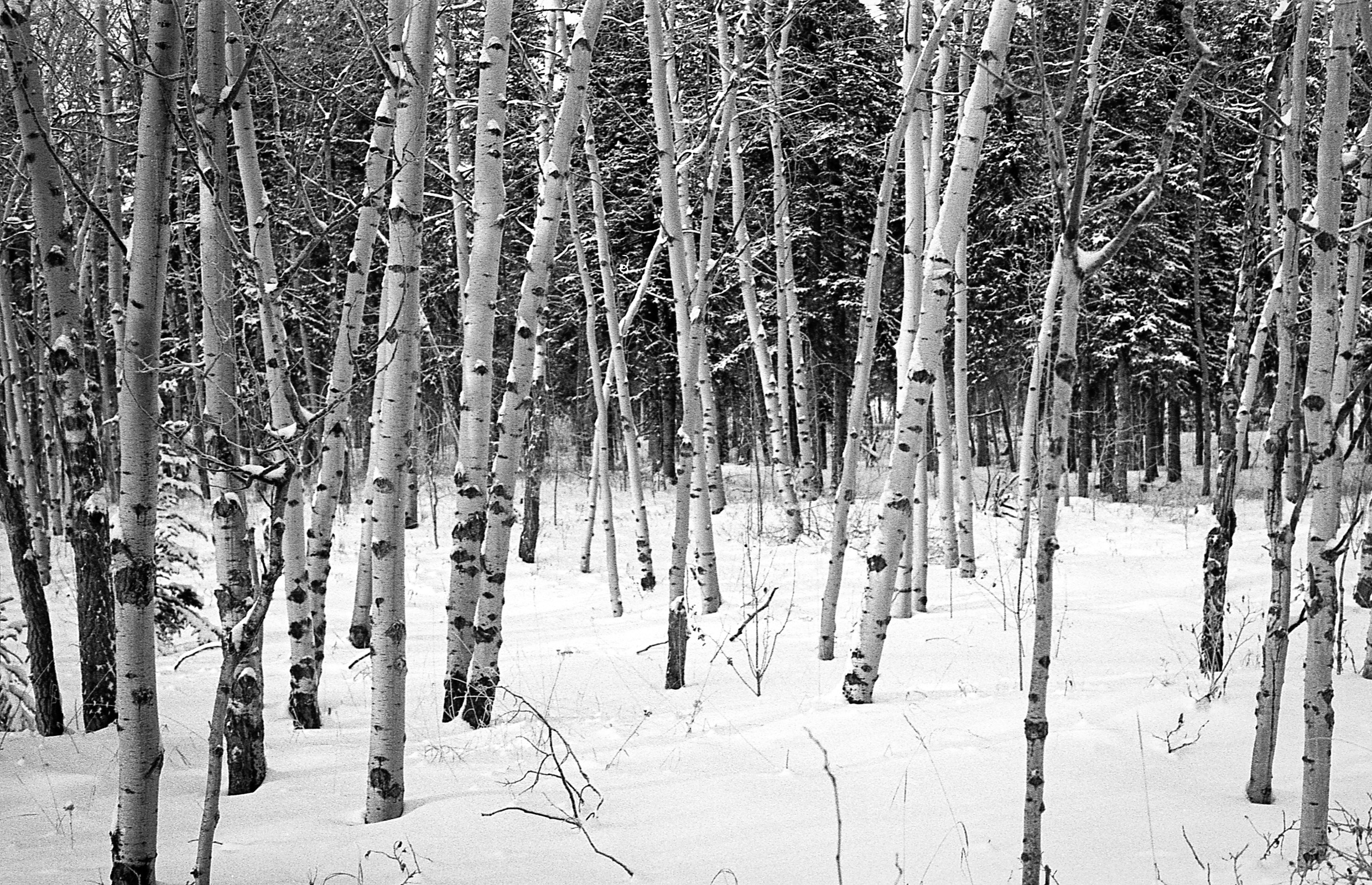 FileWinter Trees Whitehorse Yukon 11291938234jpg