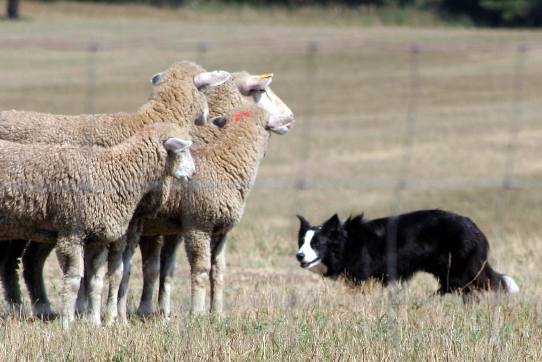 Border Collie gives sheep the eye