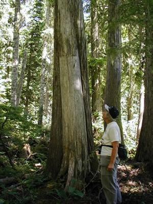 Culturally Modified Tree Wikipedia
