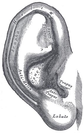 Auricle (anatomy)  Wikipedia