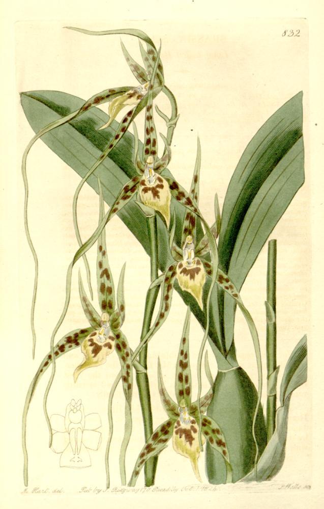 Brassia Caudata Wikipedia