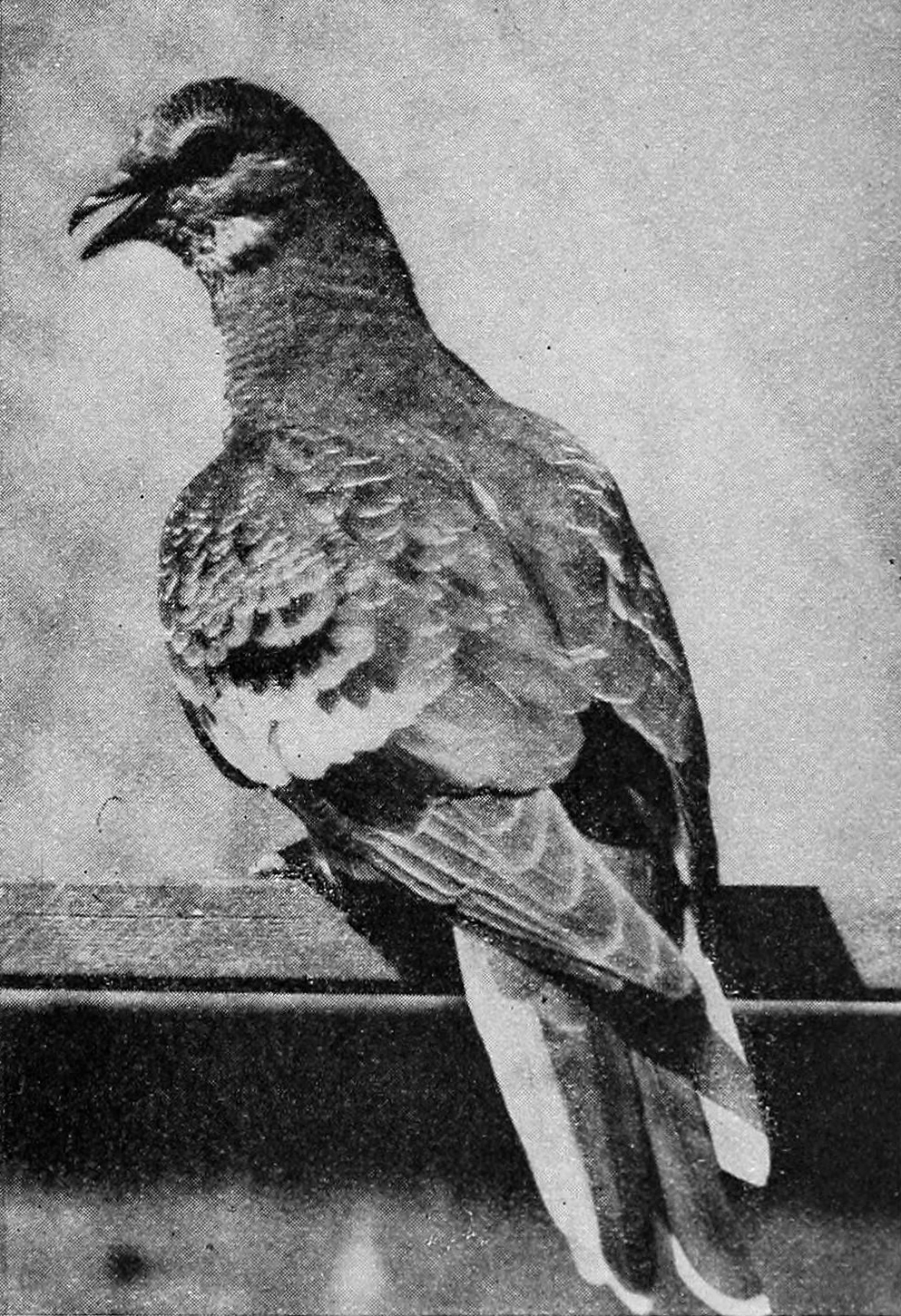 Passenger pigeon.