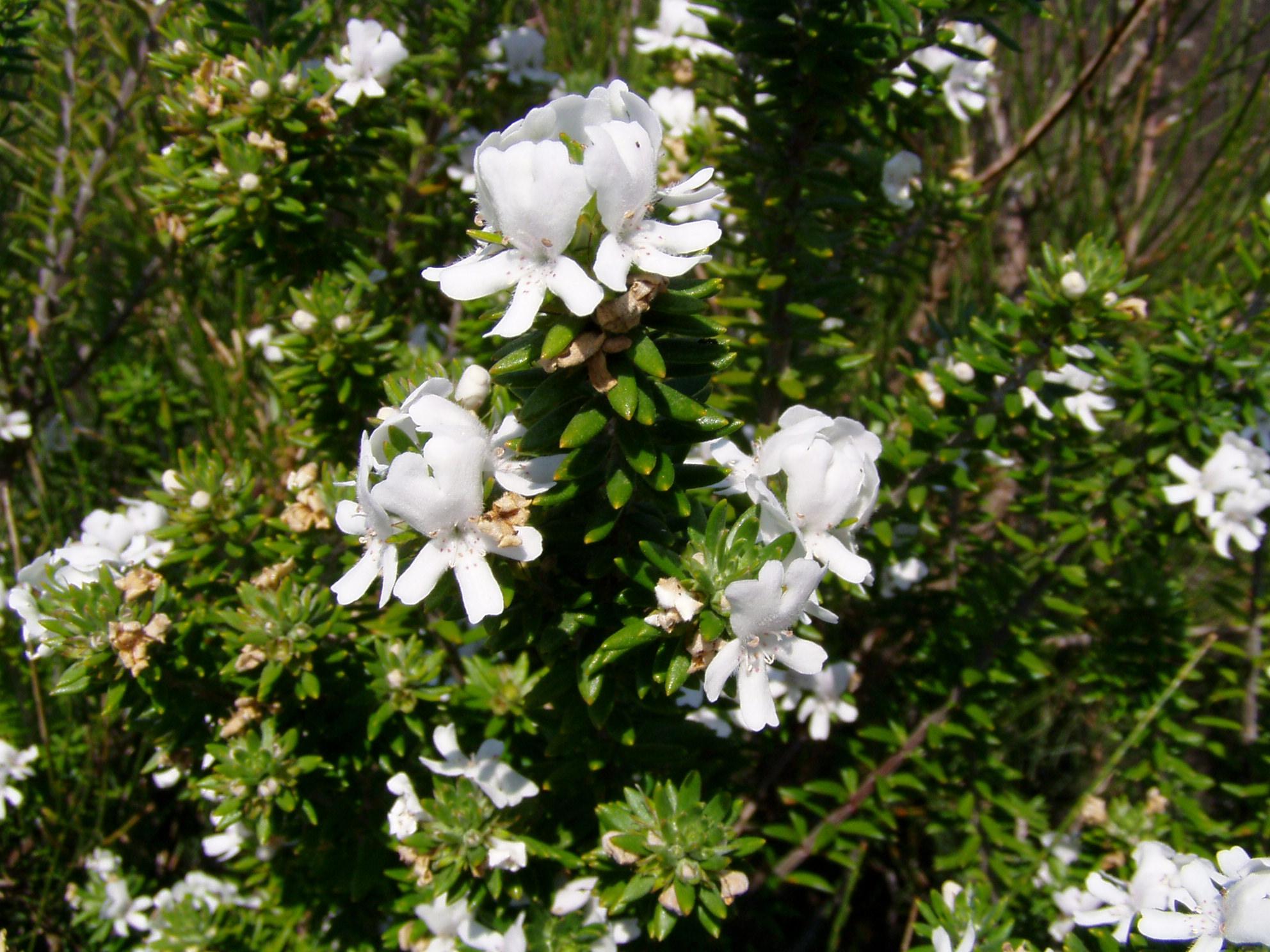 FileWestringia Fruticosa 03jpg Wikimedia Commons
