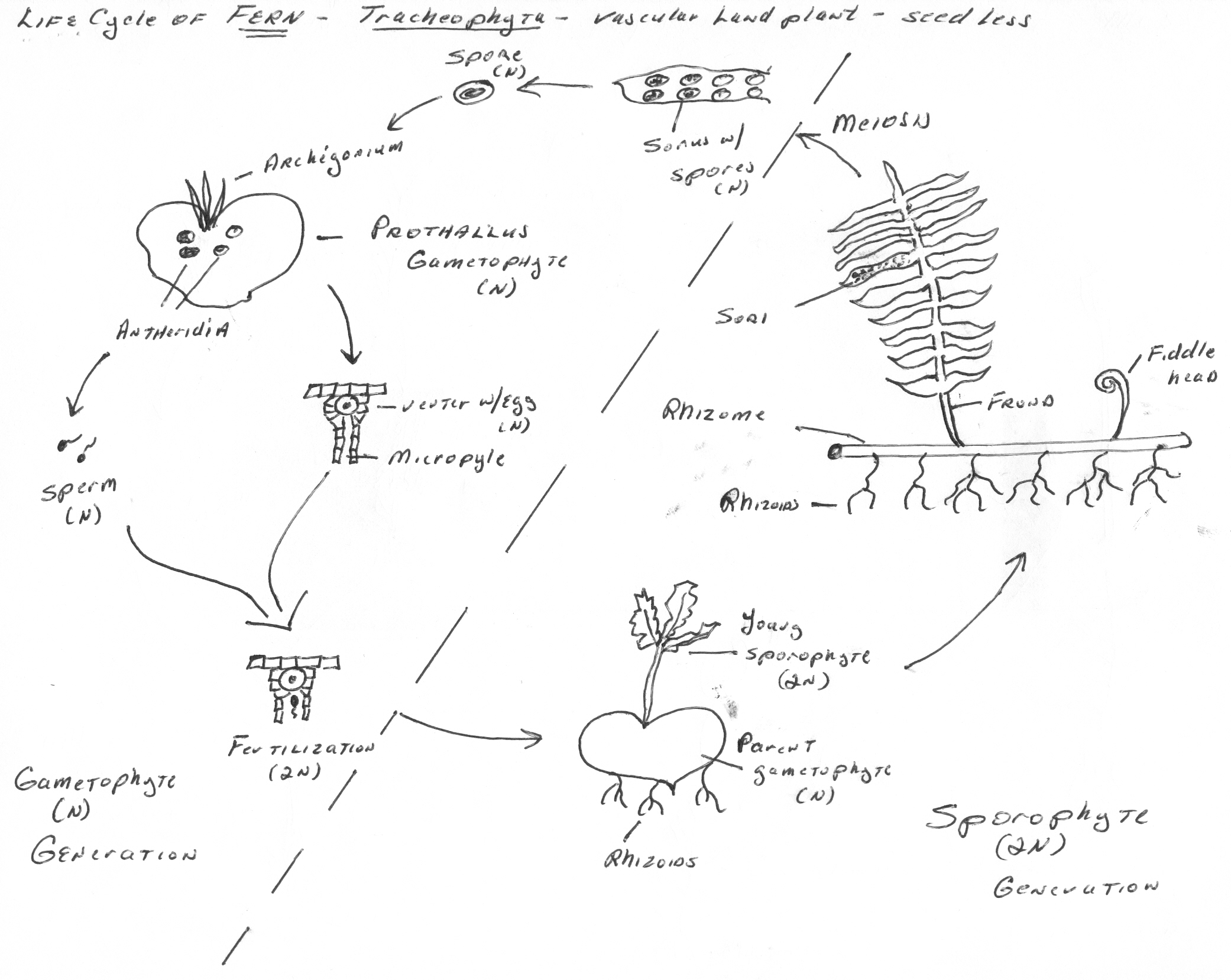File Fern Life Cycle