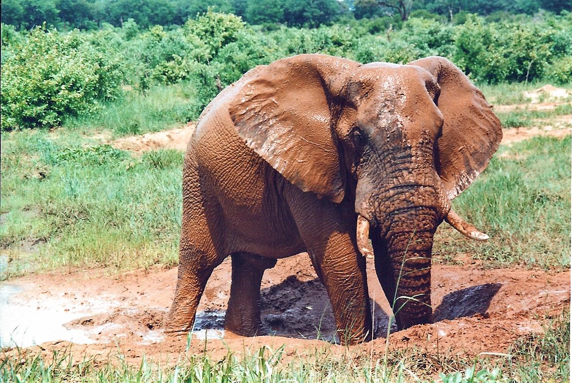 Male elephant mudbathing in Hwange National Pa...