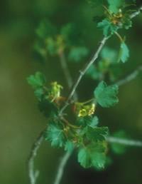 Ribes sardoum03.jpg
