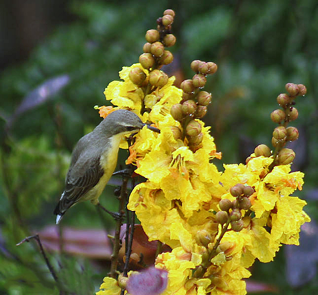 Female of the Purple Sunbird