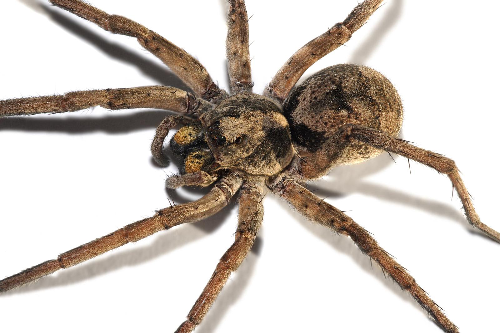 The WOLF Spider