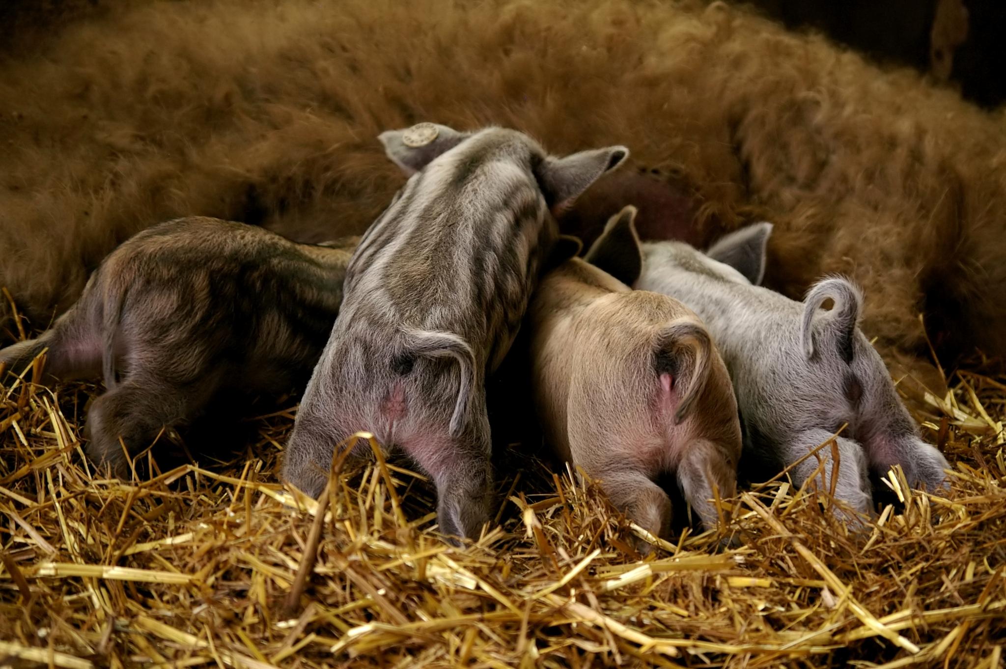 Piglets of Mangalitza pig