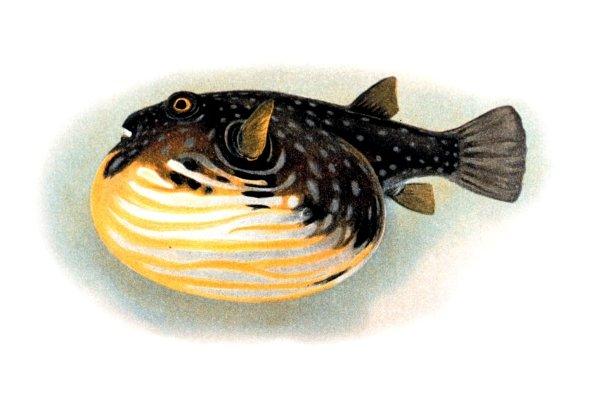 File:Tetraodon-hispidus.jpg
