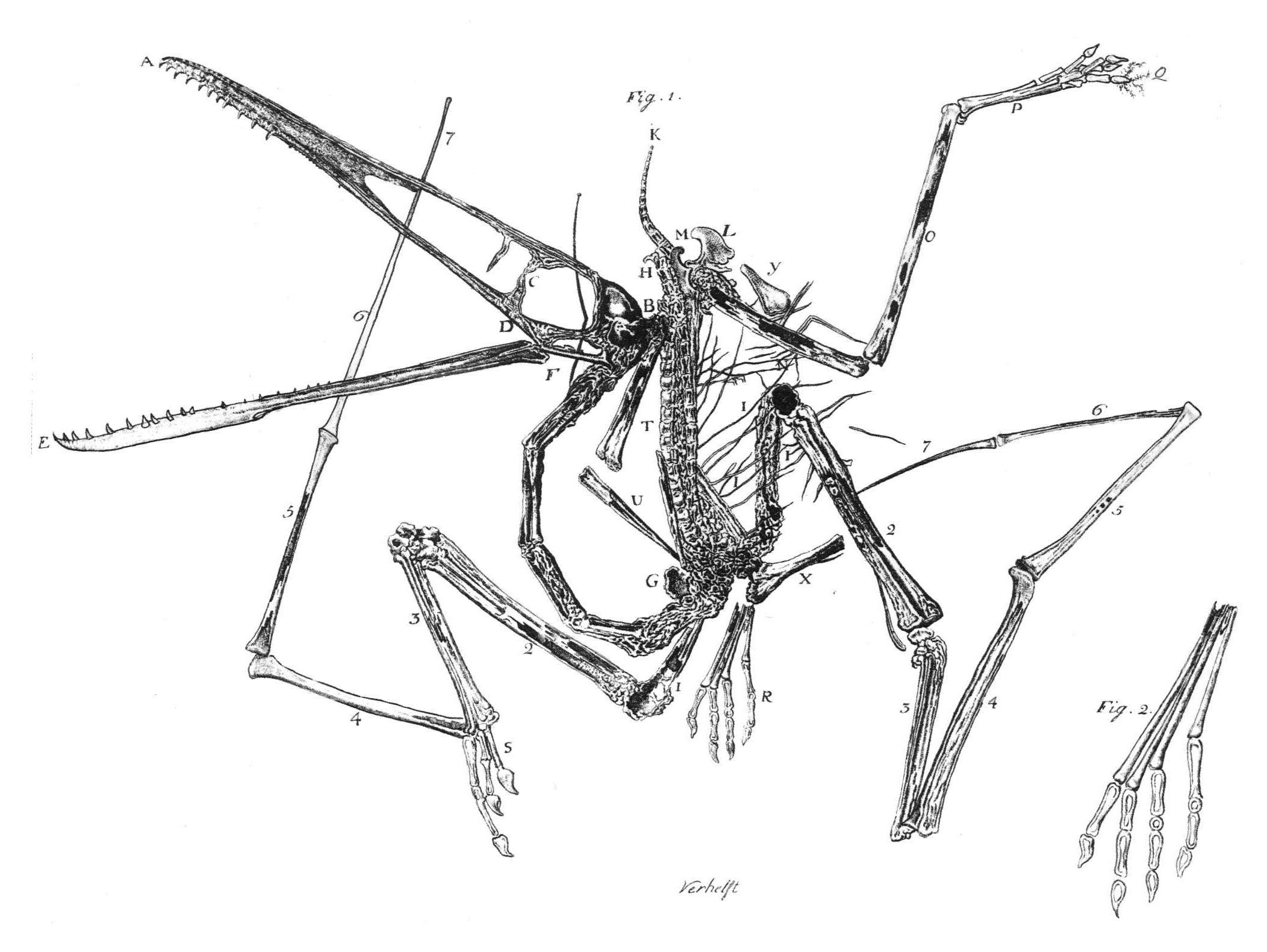 https://i2.wp.com/upload.wikimedia.org/wikipedia/commons/c/cf/Pterodactylus_holotype_Collini_1784.jpg