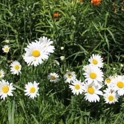 White september flowers gardening flower and vegetables filewhite flowers summer dayjpg wikimedia commons mightylinksfo