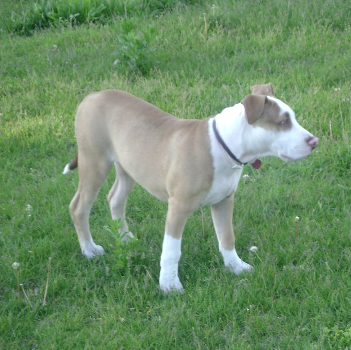 American Pit Bull Terrier %2820 weeks old%29 Red Nose Pitbull Dogs