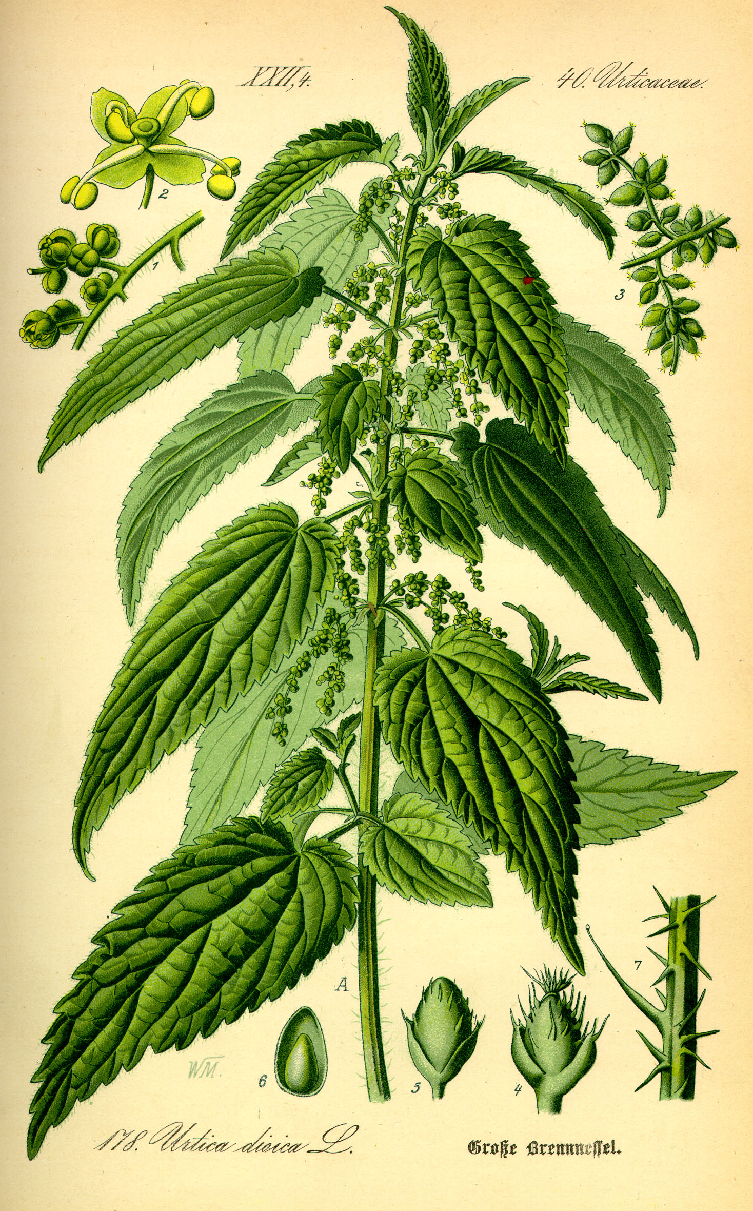 Urtica dioica stinging nettle