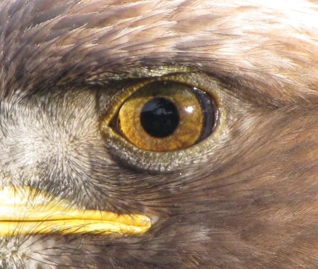 Filegolden Eagle Eye Jpg
