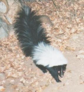 Hooded Skunk (Mephitis macroura)