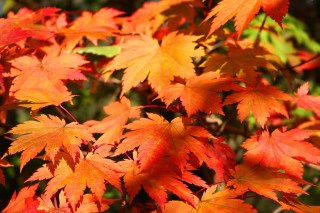 {{Information |Description='''Acer japonicum Var. Vitifolium'''. |Source=travail personnel |Date=23.10.2007 |Author= Jean-Pol GRANDMONT |Permission=see below |other_versions= }} Category:Arboretum Robert Lenoir