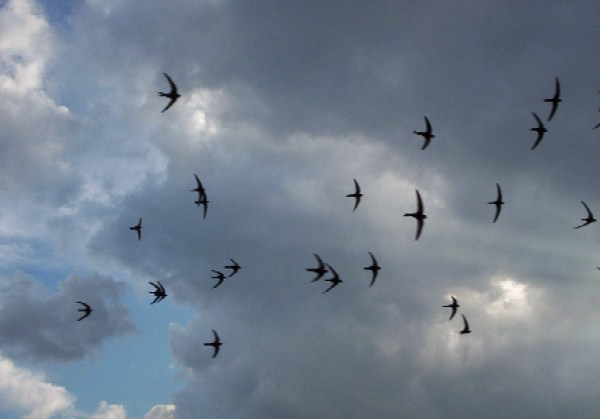 A group of swifts