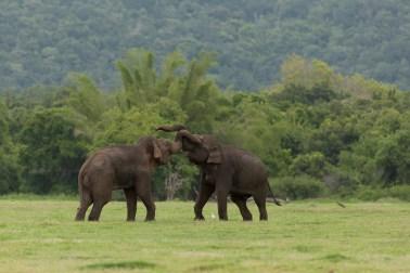 éléphant d'asie - mâle - affrontement