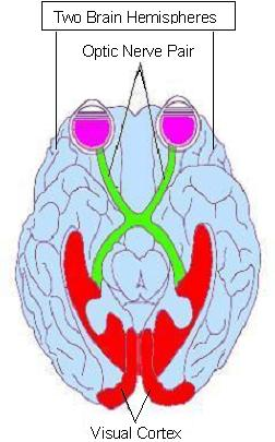 English: Optic nerve pair & two brain hemispheres