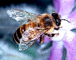 Characteristics of common wasps and bees