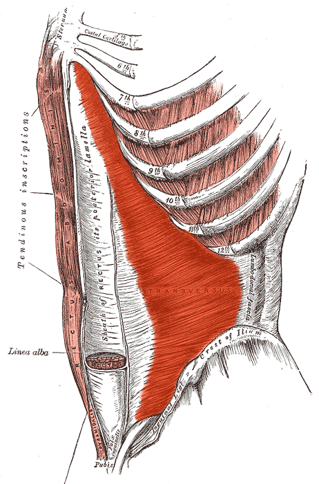 The transverse abs are in orange.